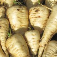 Parsnip Guernsey - Half Long - 50 grams - Bulk Discounts available